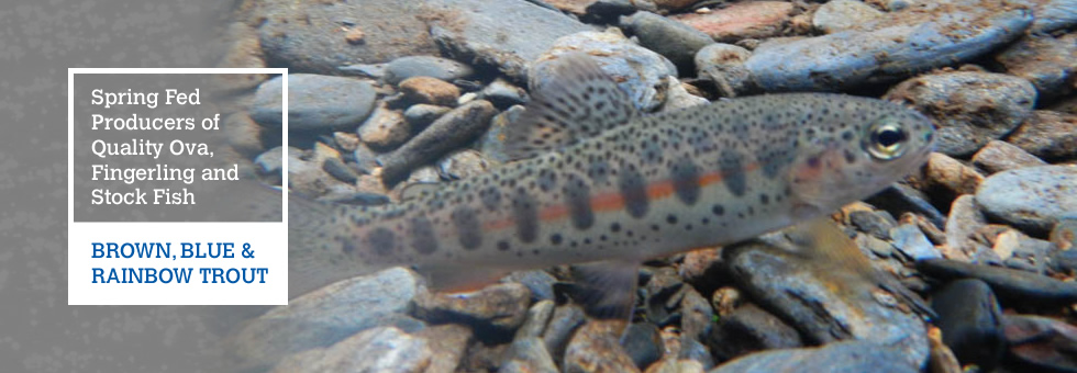 Quality Ova, Fingerling and Stock Fish - Rainbow, Blue & Brown Trout